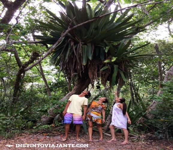 As famosas Bromélias Gigantes de Maraú - no local são várias delas e realmente é algo colossal!