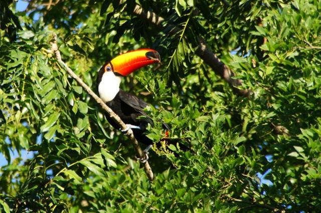 O birdwatching nas Cataratas do Iguaçu é interessante pelo fato do parque abrigar mais de 340 espécies de aves diferentes circulando ao ar livre. Foto: macucosafari.com.br.
