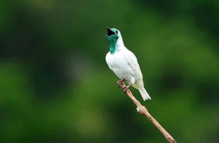 Araponga, a ave que da nome a Cachoeira Araponga